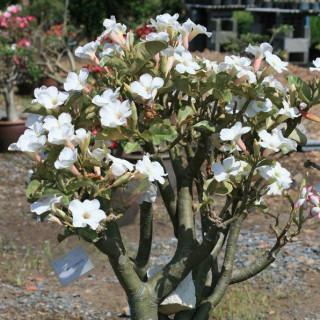 White adenium obesum : White desert rose