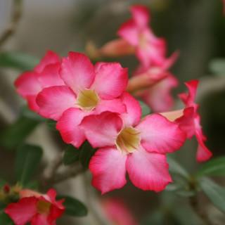 Pink Adenium obesum : pink desert rose
