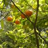 Citronnier bigarade - Bigaradier - Citrus aurantium