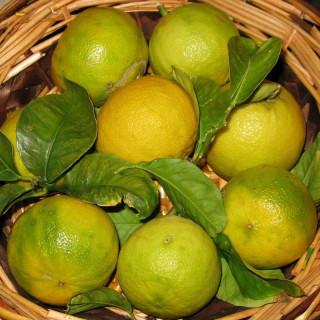 Citrus bergamia, Bergamot orange tree, bergamotto