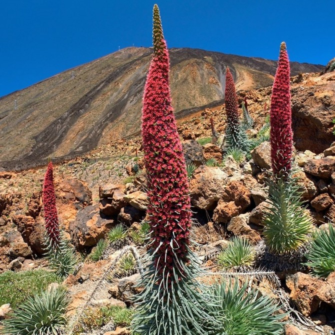 Echium wildpretii : Tower of jewels plant