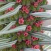 Echium wildpretii : Tower of jewels planti
