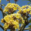 Yellow Plumeria rubra, Yellow Frangipani