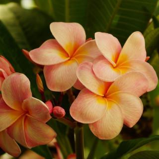 Orange Plumeria rubra : Orange Frangipani