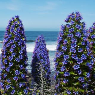 Echium fastuosum : Pride of Madeira