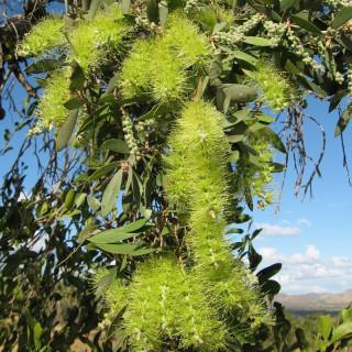 Melaleuca diosmifolia : Green honey myrtle