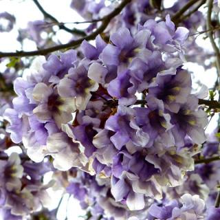 Paulownia tomentosa, Royal empress tree,foxglove-tree, princess tree,Royal Paulownia