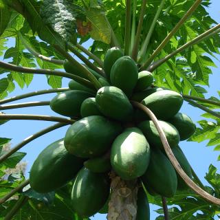 Carica papaya 'solo' : Papaya tree  'solo'