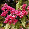 Antigonon leptopus : Pink coral vine