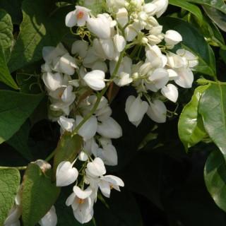 White coral vine- White Antigonon leptopus
