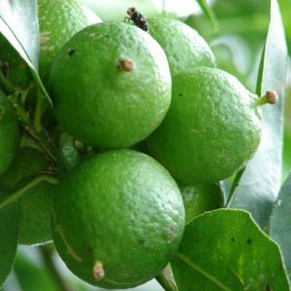 Key lime tree, Citrus aurantifolia, West Indian lime, bartender's lime, Omani lime, Mexican lime