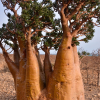 Rose du désert rouge - Adenium obesum rouge