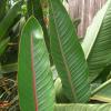 Strelitzia reginae : Bird of paradise