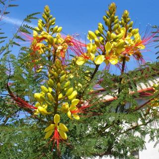 Bird of paradise, Caesalpinia gilliesii,bird of paradise bush, desert bird of paradise, yellow bird of paradise, barba de chivo