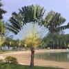 Traveler's Tree - Ravenala madagascariensis