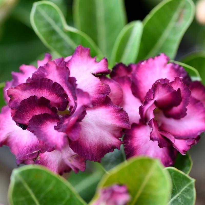 Adenium obesum purple : Purple desert rose