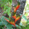 Heliconia spathocircinata : Red lobster claws plant