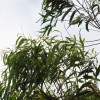 Corymbia citriodora, Lemon-scented gum tree, Spotted gum