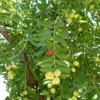 Ziziphus jujuba : Jujube tree