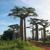 Adansonia grandidieri : Grandidier's baobab