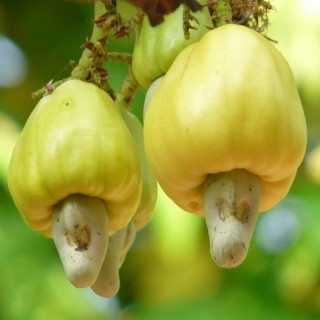 Anacardium occidentale : Cashew tree