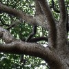 Hura crepitans : Sandbox tree