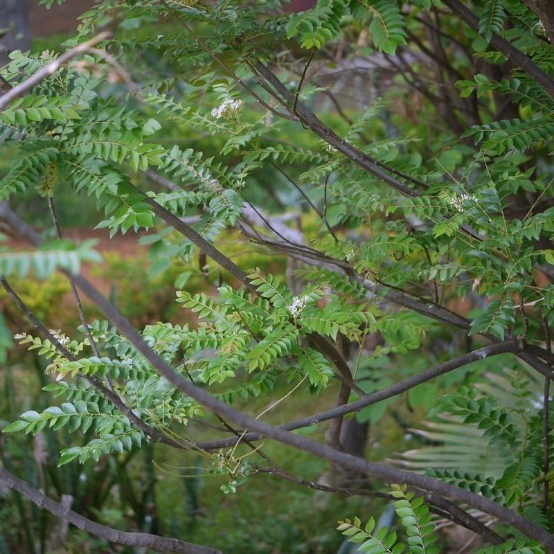 Murraya koenigii : Curry tree
