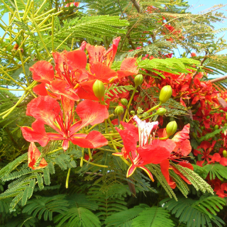 Flamboyant tree, Delonix regia, royal poinciana, flamboyant, flame of the forest, flame tree