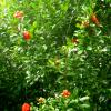 Pomegranate tree, Punica granatum