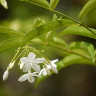 Water jasmine tree, - Wrightia religiosa