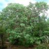 madagascar Jatropha, Madagascar bottle tree, Jatropha mahafalensis