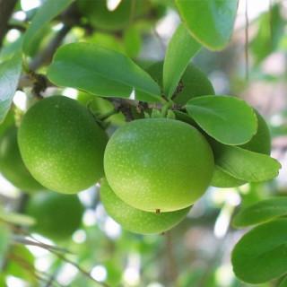 Dovyalis caffra : Kei apple tree