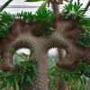 Pachypodium lamerei : Malagasy palm