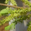 Phyllanthus emblica : Emblic tree