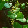 Dioscorea elephantipes : Tortoise plant