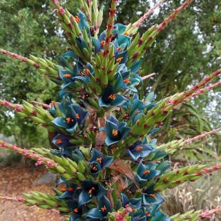 Puya alpestris : Sapphire tower plant