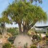 Beaucarnea recurvata : Elephant's foot plant