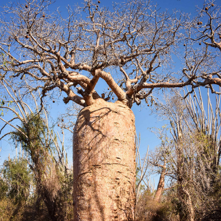 Adansonia madagascariensis : Madagascar baobab