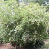 Gardenia cornuta, Tonga gardenia, Natal gardenia,  horned gardenia
