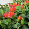 Passiflora manicata : Red passion fruit