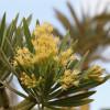 Kleinia neriifolia : Senecio kleinia