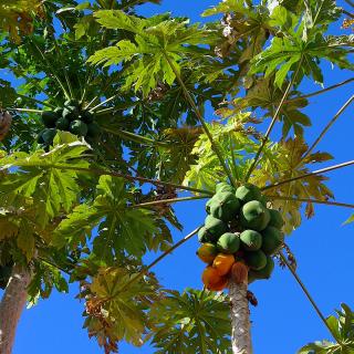 Carica papaya 'colombo' : Papaya tree 'colombo''