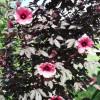 Hibiscus acetosella : Red-leaf hibiscus