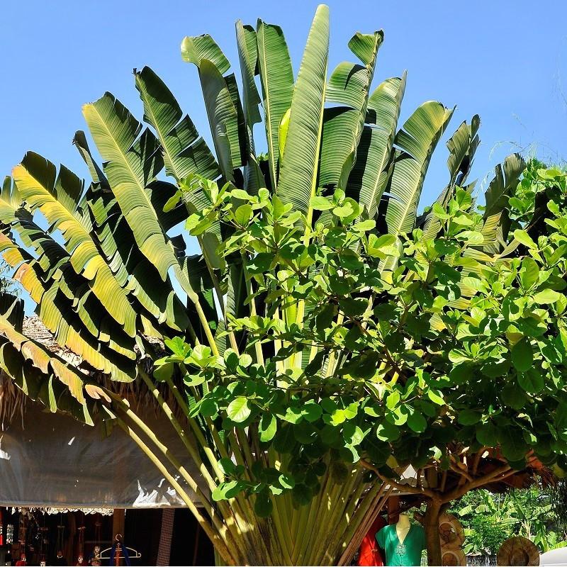 Ravenala guyannensis : South American Traveller's tree