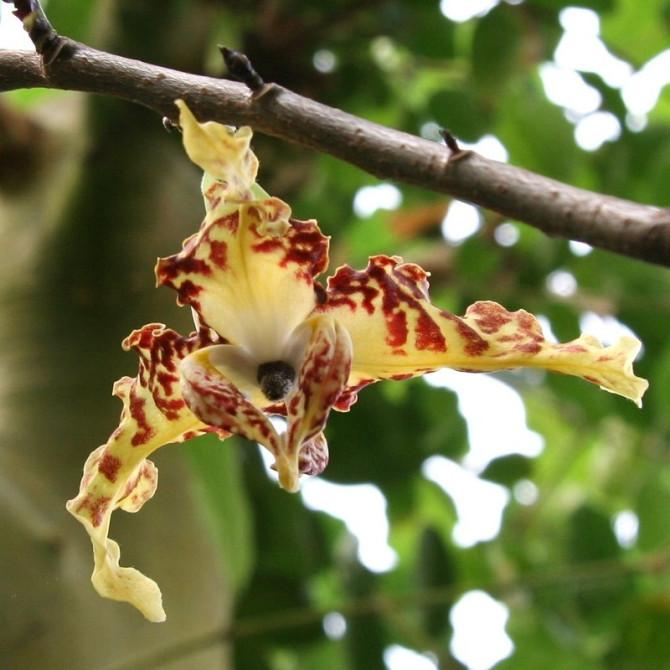Monodora myristica : Calabash nutmeg tree
