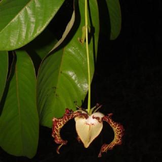 Calabash nutmeg tree