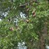 Afzelia xylocarpa : Makha tree