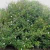 Gardenia thunbergia : Wild gerdenia