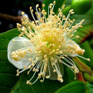 Psidium guajava : Guava tree