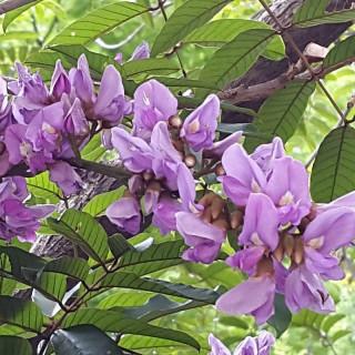 Umzimbeet tree : Millettia grandis